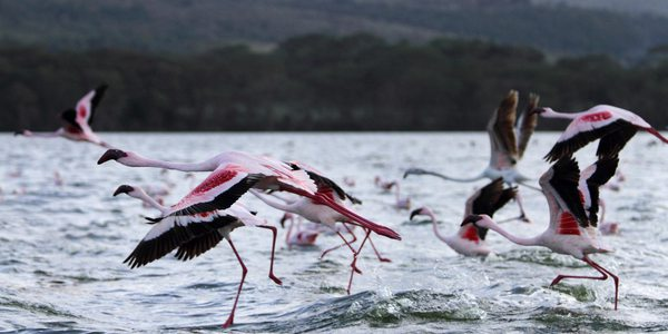Flamingos am Lake Naivasha